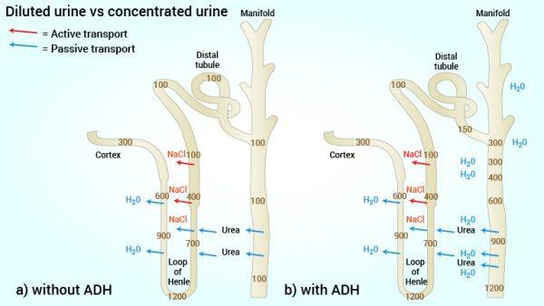 15_tynnvskons_urin_engelsk